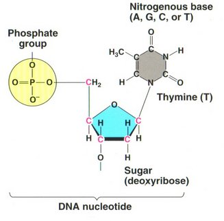 how to draw two nucleotides linke