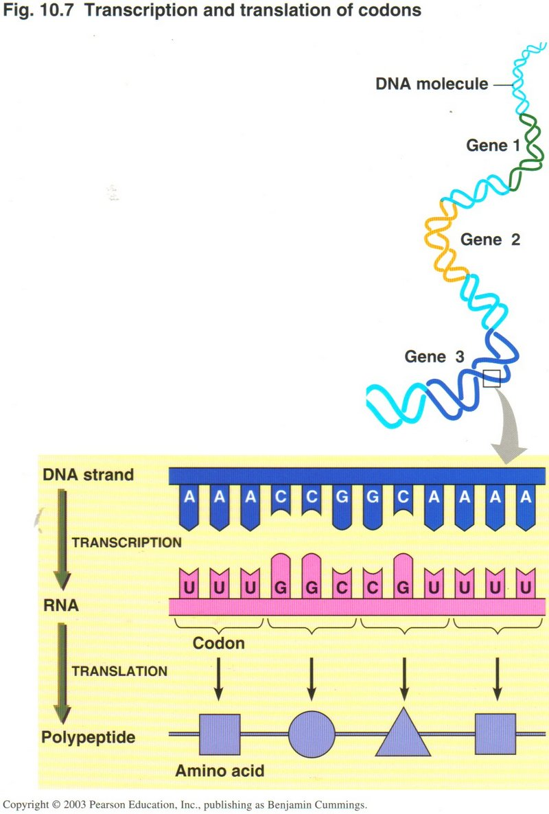 transcription and translation Transcription is the synthesis of rna from a dna template where the code in the dna is converted into a complementary rna code translation is the synthesis of a protein from an mrna template where the code in the mrna is converted into an amino acid sequence in a protein.