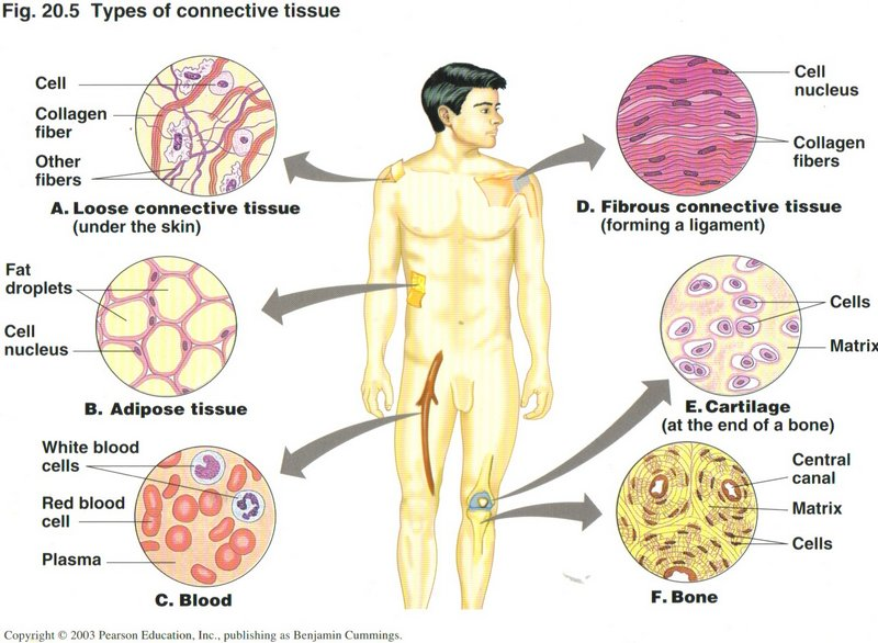 A Brief Overview Of Histology