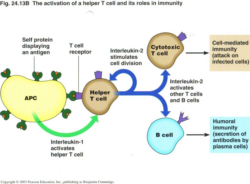 how to build t cells