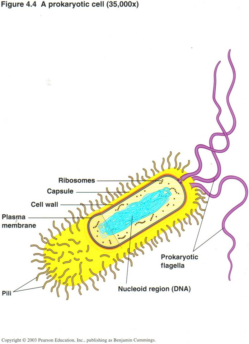 Bacterial  Prokaryotic  Cells  Labeled Prokaryotic Cell