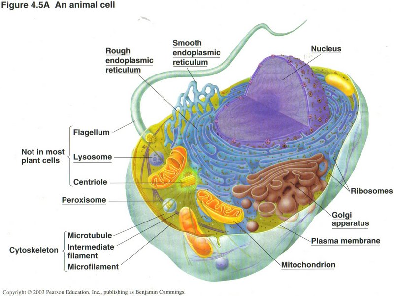 Vesicle animal cell function - photo#9