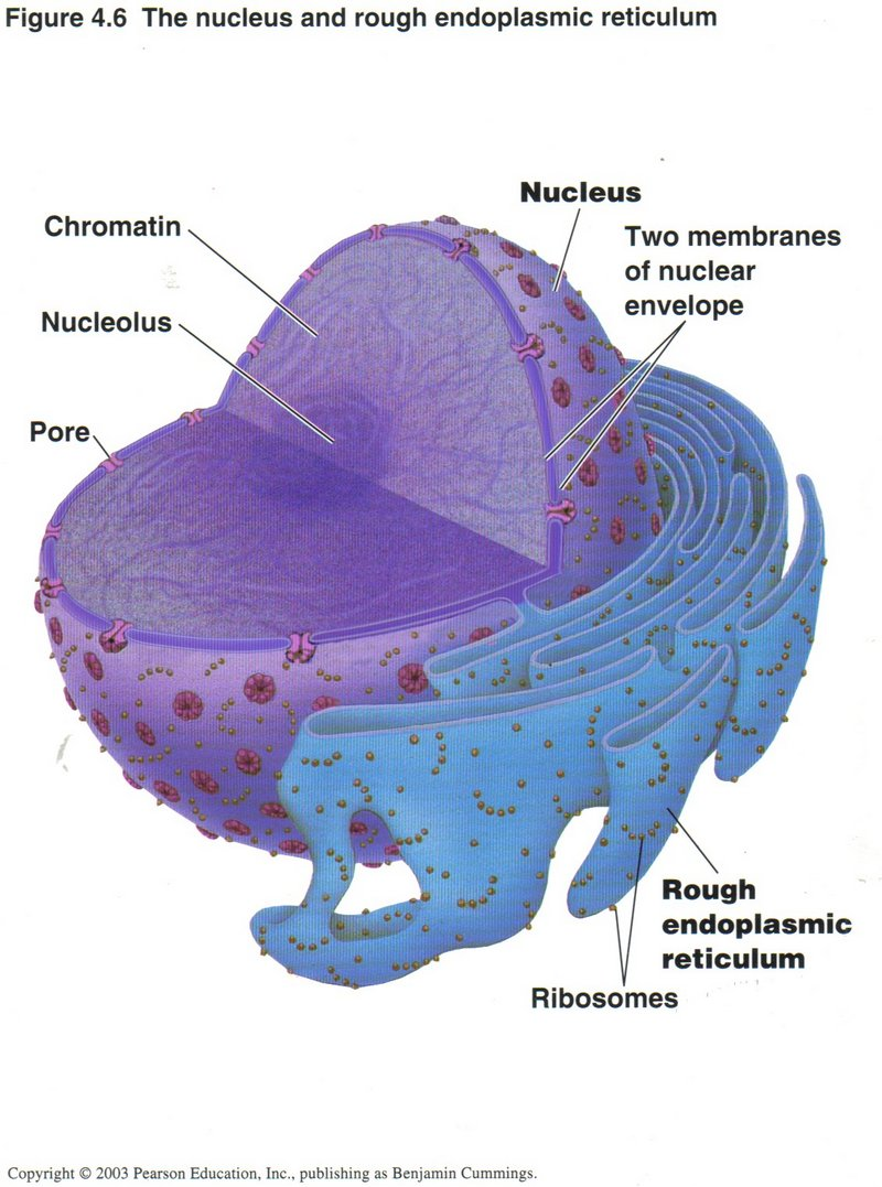 relationship between nucleus and rough endoplasmic reticulum