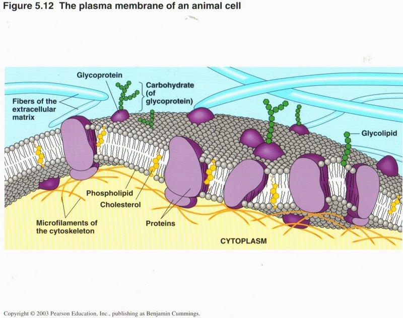 Plasma+Cell+Diagram Cell Membrane Diagram Labeled Bestofpicture.com ...