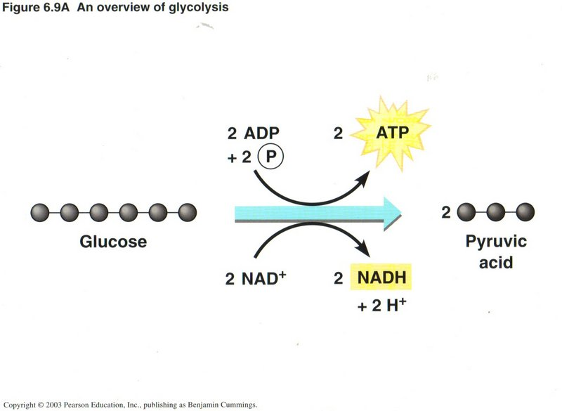 the first step in the breakdown of glucose is called    socraticherbmitchell info