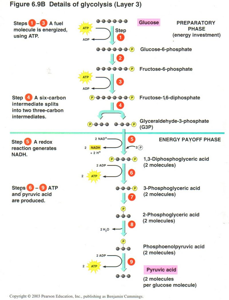 diagram of glycolysis - 28 images - cellular respiration ...