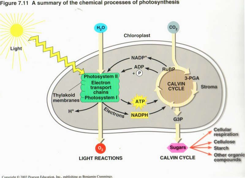 Diagram of photosynthesis process custom paper academic writing diagram of photosynthesis process photosynthesis diagram the photosynthesis is a process of converting radiant energy of ccuart Gallery