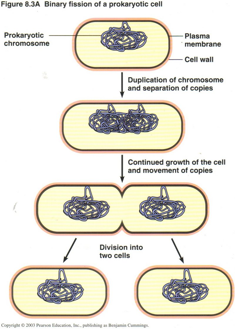 Bacterial (prokaryotic) cells